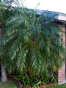 Phoenix roebelenii Pygmy Date Palm