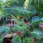 "Trachycarpus fortunei 'wagnerianus' ""Windmill Palm"""