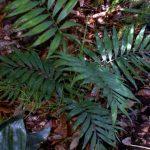 """Chamaedorea elegans """"Parlour Palm"""""""