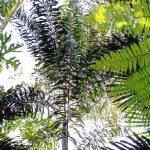 Wodyetia bifurcata (Foxtail Palm