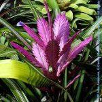Creation Tilandsia hybrid