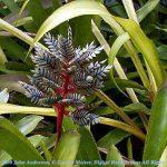Aechmea dactylia Bromeliad