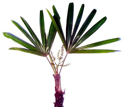 Rhapis excelsa Lady Palm images