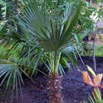 Trithrinax acanthocoma (Spiny Fibre Palm)