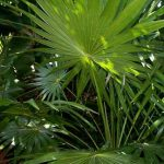 Thrinax parviflora (Thatch Palm)