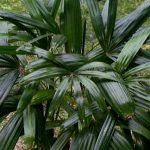 Rhapis excelsa 'Daruma' male plant.