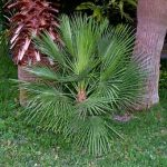 "Chamaerops humilis ""Mediterranean Fan Palm, European Fan Palm"""