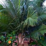 Ravenea rivularis (Majestic or Majesty Palm), flanked by Hibiscus (left) and Caladium (right).