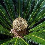 Sago Palm Female cone