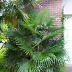 Trachycarpus fortunei (Chinese Windmill Palm)