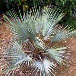 """Mexican Blue Palm """"Brahea armata"""""""