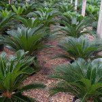 Cycas revoluta (Sago Palms)