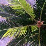 Cycas revoluta (Sago Palm) variegated