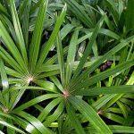 "Rhapis excelsa standard (dull leaf) ""Lady Palm"""