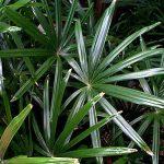 """Rhapis excelsa standard (glossy leaf) """"Lady Palm"""""""