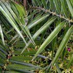 """Phoenix humilis """"Dwarf Palm"""""""