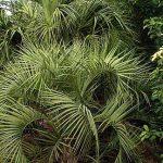 Butia capitata (Pindo Palm) and Sabal palmetto (Palmetto Palm)