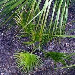 Brahea edulis Guadalupe Palm