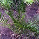 "Phoenix canariensis ""Canary Island Date Palm"""