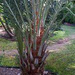Phoenix dactylifera (True Date Palm)