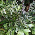 "Caryota mitis ""Fishtail Palm"""