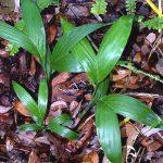 "Chamaedorea seifrizii ""Bamboo Palm"""