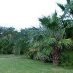 "Washingtonia robusta x filifera ""Mexicali Palm"""