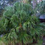 Livistona chinensis (Chinese Fan Palm)