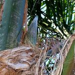 Syagrus romanzoffiana (Queen Palm)