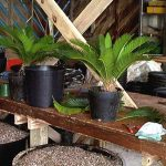 Sago palms ready for move up