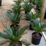 Newly moved up Sago Palms