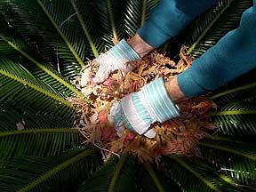 Germinating Sago Palm