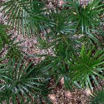 Sago Palm Seedlings