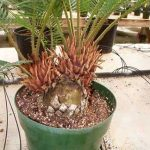 Sago Palm Pups growing in a pot
