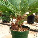 More Sago Palm pups that have been planted in a pot