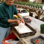 planting Sago Seed