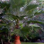 "Washingtonia robusta ""Mexican Fan Palm"""