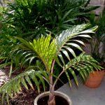 """Hyophorbe lagenicaulis """"Bottle Palm"""""""