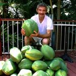 Carica papaya harvest