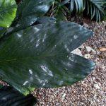 "Chamaedorea metallica ""Metallic Palm"""