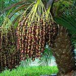Phoenix roebelenii Pygmy Date Palm Female infructescence (ripe)