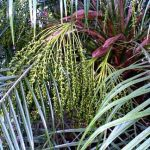 Phoenix roebelenii Pygmy Date Palm Female infructescence