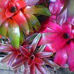 Neoregelias Bromeliad