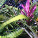 Tilandsia hybrid Bromeliad