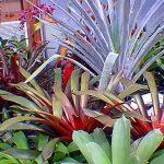 Alcantarea odorata (Very Rare) Bromeliad