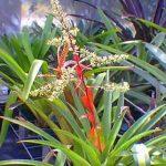Aechmea haltonir Bromeliad