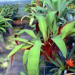 Pepina sanguinea Bromeliad