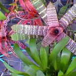 Cryptanthus vonatuf variegata Bromeliad