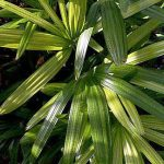 Rhapis excelsa 'Green Variegated'