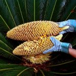 Sago Palm Pollination
